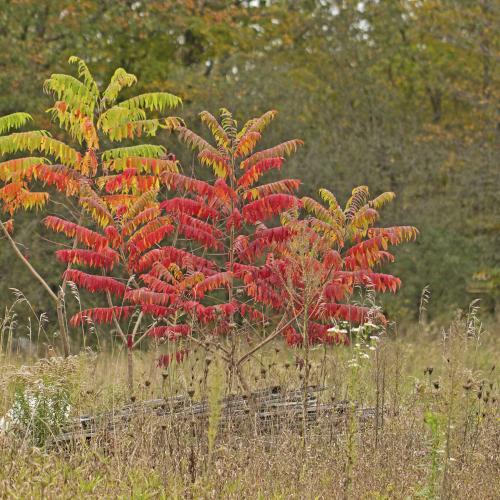 multi coloured Sumac