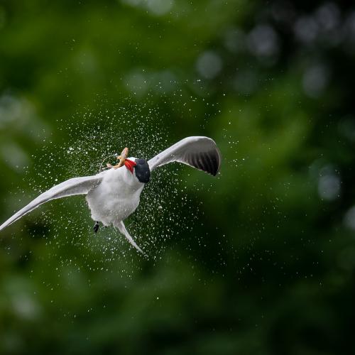 Caspian Tern spinning in mid-air