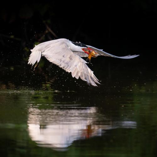 Caspian tern catching a fish