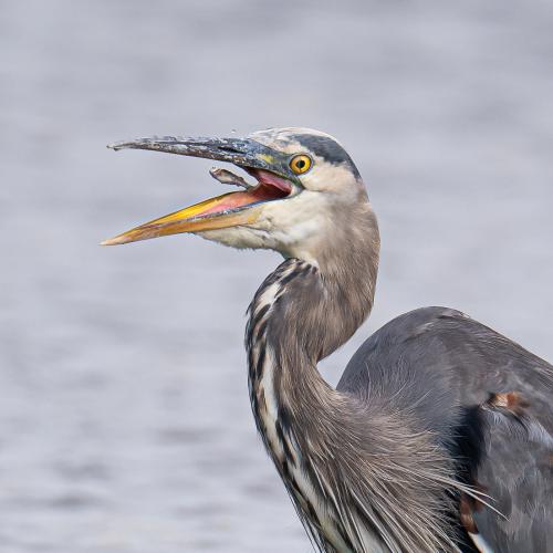 A great blue heron feeding on fish