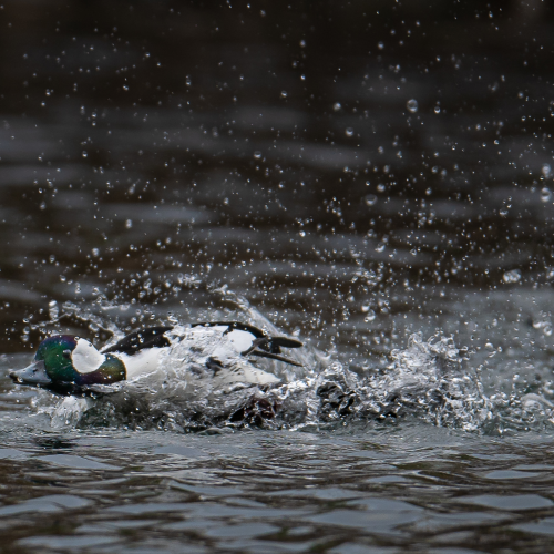 Bufflehead chasing each other