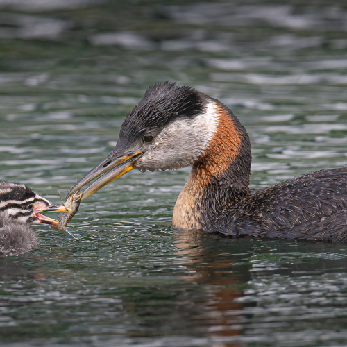 Red-necked grebe feeding its young kid