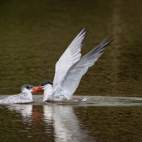 Caspian tern mom feeding its grown up kid