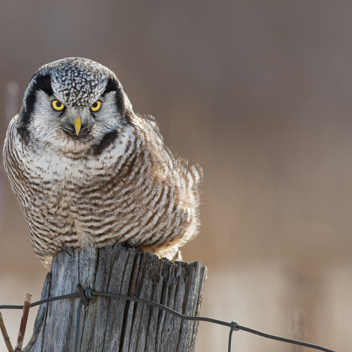 Northern hawk owl on a fence post