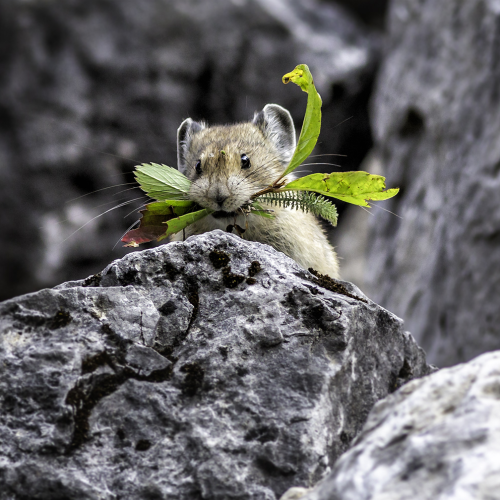 Pika collecting food