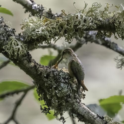 Rufous Hummingbird Nest