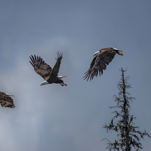 Eagle Panoramic