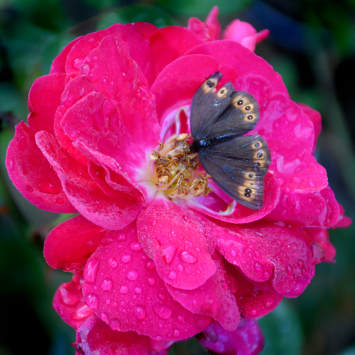 Wood Nymph On A Rainy Day Rose