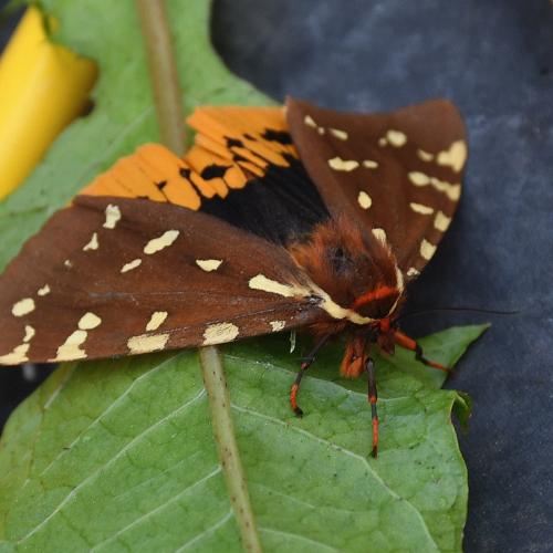 Piatarctica Parthenos Moth