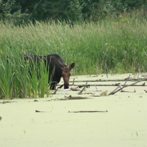 Moose Lurking