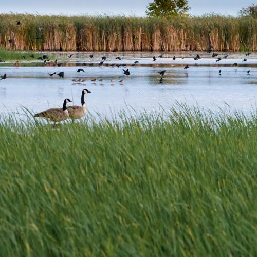 Migration at Oak Hammock Marsh
